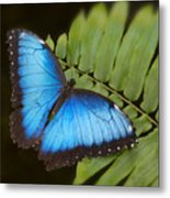 Blue Morpho Butterfly On Fren Dsc00441 Metal Print