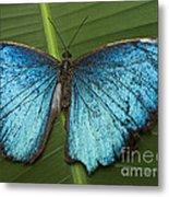 Blue Morpho - Morpho Peleides Metal Print