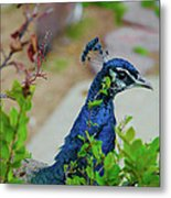 Blue Peacock Green Plants Metal Print
