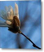 Blue Sky Magnolia Blossom - Dreaming Of Spring Metal Print