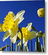 Blue Sky Spring Bright Daffodils Flowers Metal Print