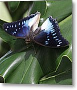 Blue-spotted Charaxes Butterfly #2 Metal Print