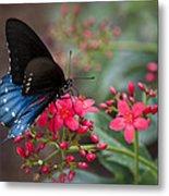 Blue Swallowtail Butterfly  Metal Print