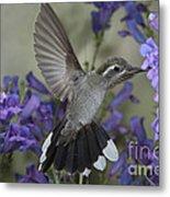 Blue-throated Hummingbird Metal Print