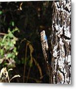 Blue Throated Lizard 1 Metal Print