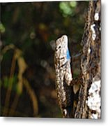 Blue Throated Lizard 2 Metal Print