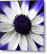 Blue Tipped Osteospermum Metal Print