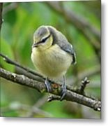 Blue Tit In A Cherry Tree Metal Print