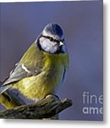 Blue Tit In The Blue Metal Print