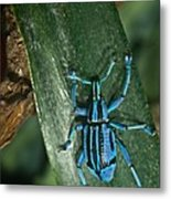 Blue Tropical Weevil Metal Print
