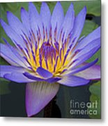 Blue Water Lily - Nymphaea Metal Print by Heiko Koehrer-Wagner