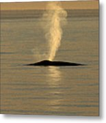 Blue Whale At Sunset In Monterey Bay California  2013 Metal Print