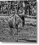 Blue Wildebeest-black And White Metal Print