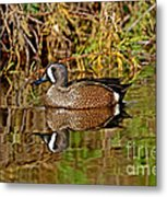 Blue-winged Teal Drake Metal Print
