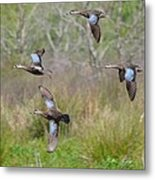 Blue Winged Teal Ducks In Flight Metal Print