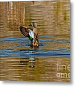 Blue-winged Teal Flapping Metal Print