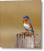 Bluebird At His Post Metal Print