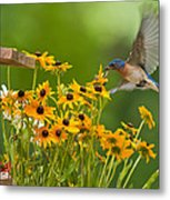 Bluebird Flying Over The Black Eyed Susans Metal Print