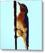 Bluebird Hangin Metal Print