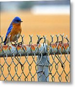 Bluebird On A Fence Metal Print