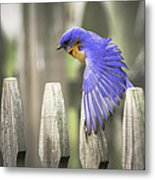 Bluebird On The Fence Metal Print