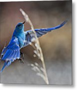 Bluebird Taking Flight Metal Print