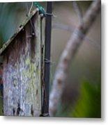 Bluebird With Nest Material In Beak Metal Print