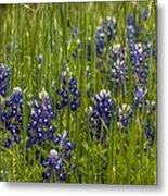 Bluebonnets In The Grass Metal Print