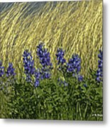 Bluebonnets With Ladybug Metal Print