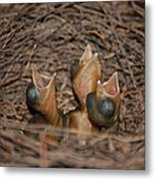 Bluejay Chicks Metal Print