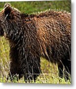 Bluetooth Grizzly 2 Metal Print