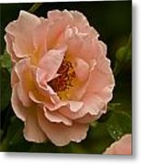 Blush Pink Rose With Dew Metal Print