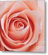 Blush Rose Metal Print