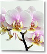 Blushing Orchids Metal Print by Juergen Roth