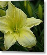 Blushing Yellow - Lilies Metal Print