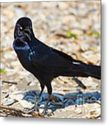 Boat-tailed Grackle Metal Print