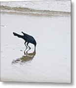 Boat-tailed Grackle - Quiscalus Major - In Surf Metal Print