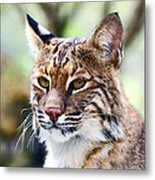 Bob Cat Pose Metal Print