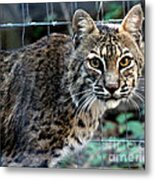 Bobcat Beauty Metal Print
