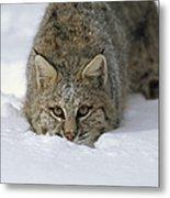 Bobcat Crouching In Snow Colorado Metal Print