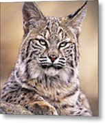 Bobcat Cub Portrait Montana Wildlife Metal Print by Dave Welling