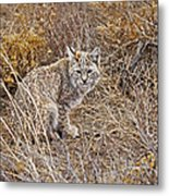 Bobcat In Brush Metal Print