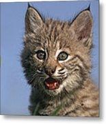 Bobcat Kitten Metal Print