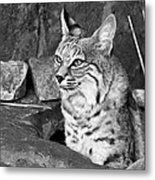 Bobcat Metal Print by Nikolyn McDonald