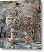 Bobcat On Rock Metal Print