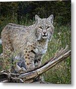 Bobcat On The Prowl Metal Print
