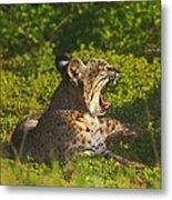 Bobcat Yawn Metal Print