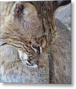 Bobcat2 Metal Print by Jennifer  King