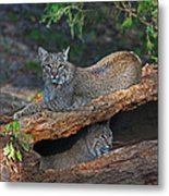 Bobcats At Rest Metal Print by Jean Clark