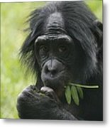 Bonobo Eating Metal Print
